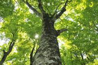 新緑のブナの森 大山五合目付近