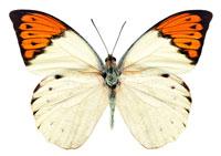 ツマベニチョウ 11007002233| 写真素材・ストックフォト・画像・イラスト素材|アマナイメージズ