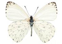 アミメシロチョウ