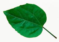 ハイビスカスの葉