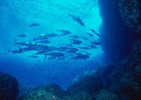 魚の群れ 11007005539| 写真素材・ストックフォト・画像・イラスト素材|アマナイメージズ