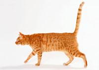 日本猫 11007009160| 写真素材・ストックフォト・画像・イラスト素材|アマナイメージズ