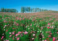 花畑 11007014198| 写真素材・ストックフォト・画像・イラスト素材|アマナイメージズ