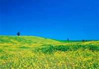 カラシナ畑 11007021790| 写真素材・ストックフォト・画像・イラスト素材|アマナイメージズ