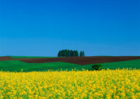 カラシナ畑 11007021792| 写真素材・ストックフォト・画像・イラスト素材|アマナイメージズ