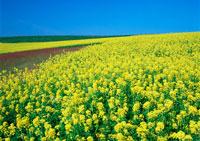 カラシナ畑