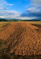 ジャガイモ畑 11007022108| 写真素材・ストックフォト・画像・イラスト素材|アマナイメージズ