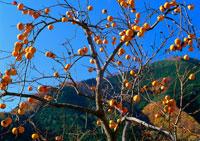 柿の木 11007022120| 写真素材・ストックフォト・画像・イラスト素材|アマナイメージズ