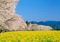 ナノハナ畑とサクラ 11007022158| 写真素材・ストックフォト・画像・イラスト素材|アマナイメージズ