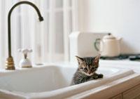 日本猫 11007022549| 写真素材・ストックフォト・画像・イラスト素材|アマナイメージズ