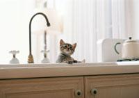 日本猫 11007022550| 写真素材・ストックフォト・画像・イラスト素材|アマナイメージズ