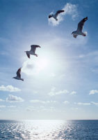 海鳥 11007023392| 写真素材・ストックフォト・画像・イラスト素材|アマナイメージズ