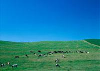 乳牛と牧草地