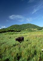 草原とスイギュウ