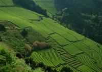 茶畑 11007029718| 写真素材・ストックフォト・画像・イラスト素材|アマナイメージズ