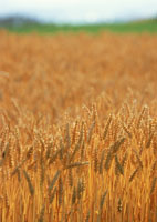 麦畑 11007029739| 写真素材・ストックフォト・画像・イラスト素材|アマナイメージズ