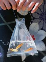 夏祭りの金魚