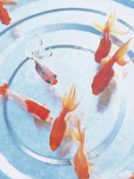金魚 11007032694| 写真素材・ストックフォト・画像・イラスト素材|アマナイメージズ