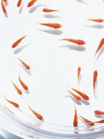 金魚 11007032702| 写真素材・ストックフォト・画像・イラスト素材|アマナイメージズ