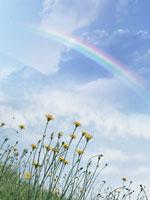 タンポポと虹
