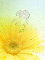 ガーベラ 11007034281| 写真素材・ストックフォト・画像・イラスト素材|アマナイメージズ