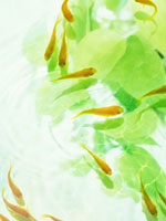 キンギョ 11007034288| 写真素材・ストックフォト・画像・イラスト素材|アマナイメージズ
