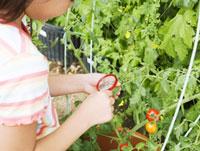 トマトの観察をする小学生