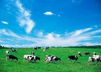 牧場のウシ