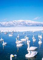 屈斜路湖の白鳥 11007060285| 写真素材・ストックフォト・画像・イラスト素材|アマナイメージズ