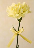 黄色のカーネーション 11007065021| 写真素材・ストックフォト・画像・イラスト素材|アマナイメージズ