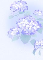 紫陽花 11007065744| 写真素材・ストックフォト・画像・イラスト素材|アマナイメージズ