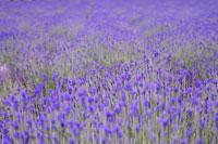 Flower field in Hokkaido