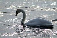 Black swan in lake