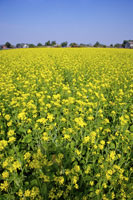 Close-up of infinite rape-flower field