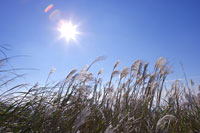 reeds gone with wind in sunlight