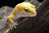 Leopard Gecko on log