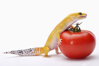 Leopard Gecko pushing tomato with paw