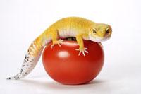 Leopard Gecko on tomato