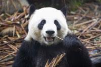 Giant panda, close up