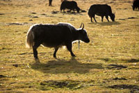 Ruoergai Grassland, Yaks