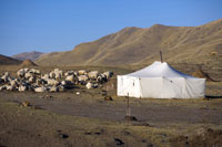 Flock Of Sheep & Tent