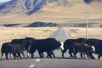 Yaks walking across the road