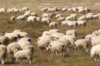 Ruoergai Grassland, Flock Of Sheep