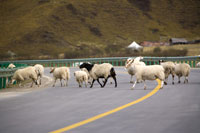 Herds of sheep�fs walking across road