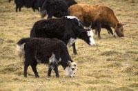 Ruoergai Grassland, Cattle