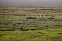 Two cranes in Ruoergai Grassland