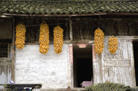 Bunches of sweetcorns hanging