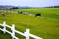 cows in Chulu Pasture