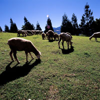 Herd of sheep grazing on grass