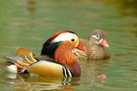 Male & female mandarin duck swimming